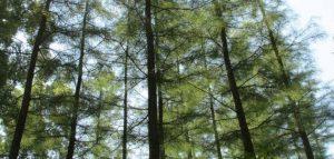 أطول_شجرة_في_العالم