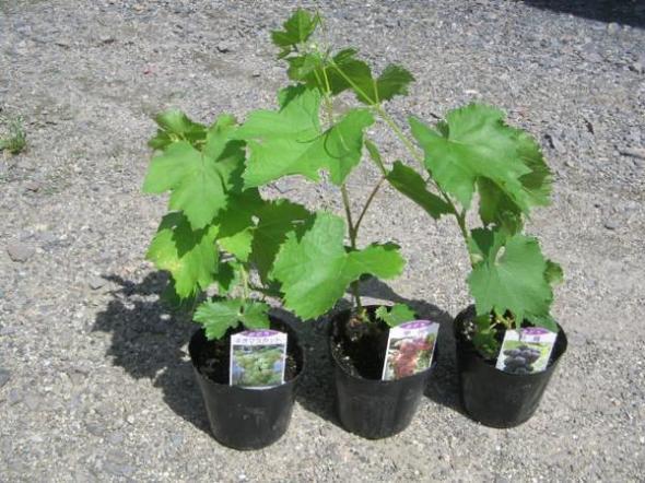 طريقة زراعة العنب من البذور في المنزل