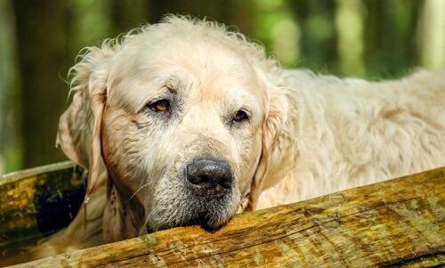 علاج الخمول عند الكلاب