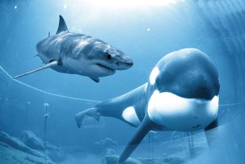 من الاقوى الحوت القاتل والقرش الأبيض