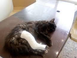 أسباب عدم قدرة القط على المشي