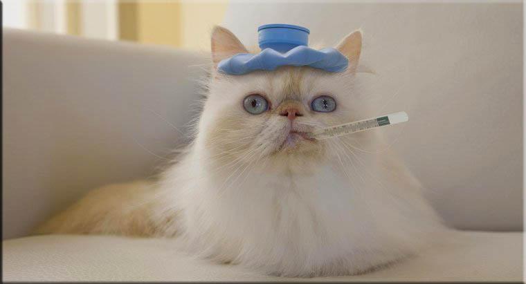 علاج ارتفاع درجة الحرارة عند القطط